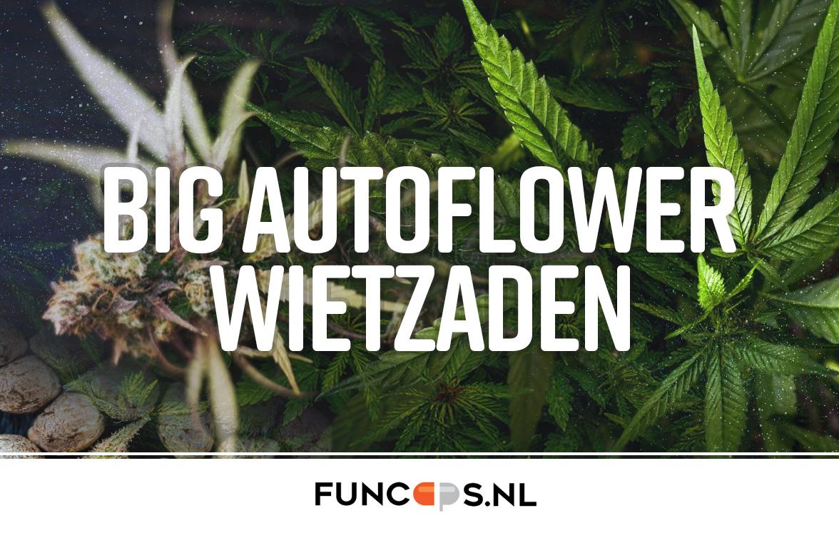 Big autoflower wietzaden